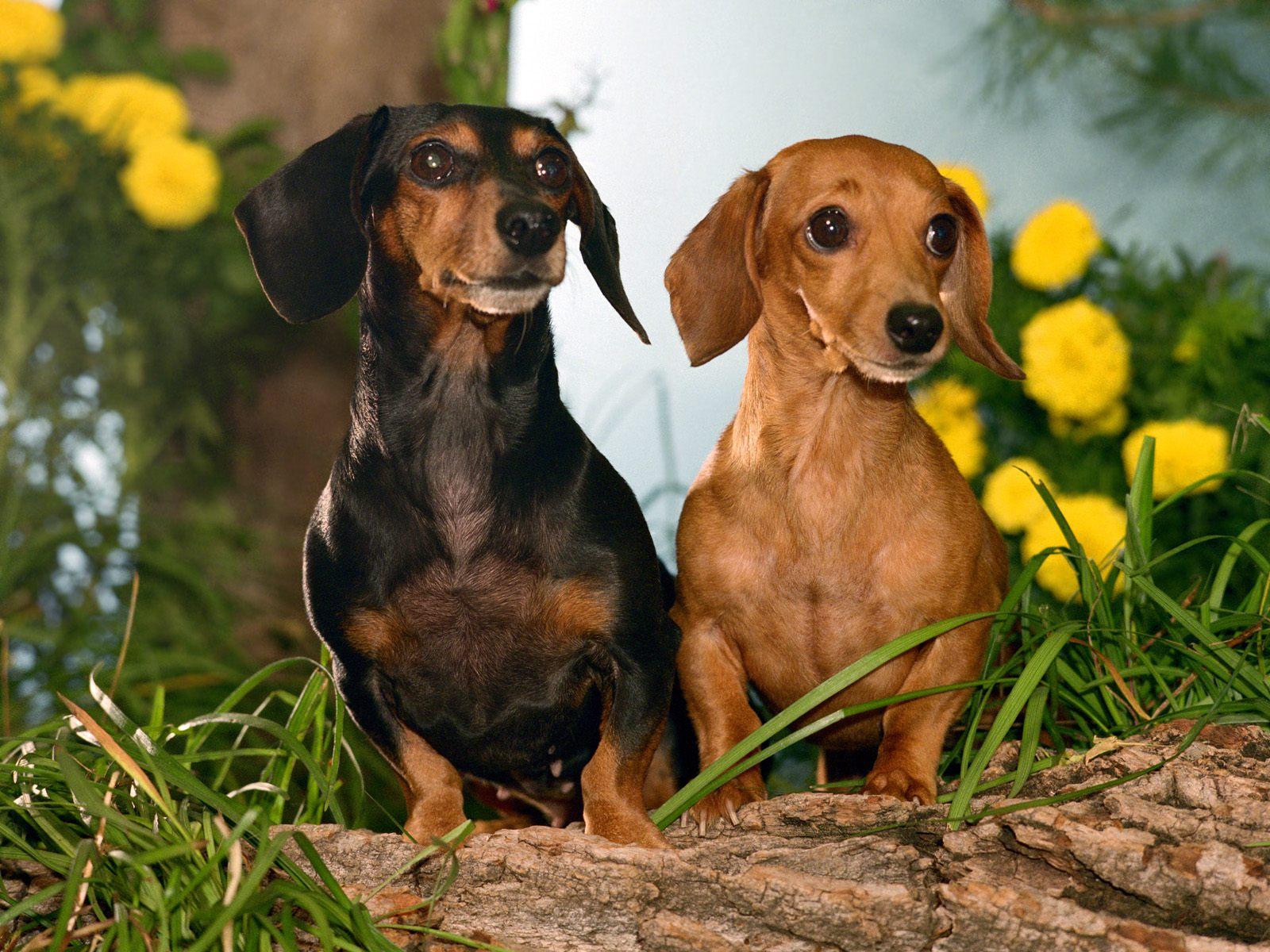 Dachshund Dog: Dachshund Dachshund Dogs Breed