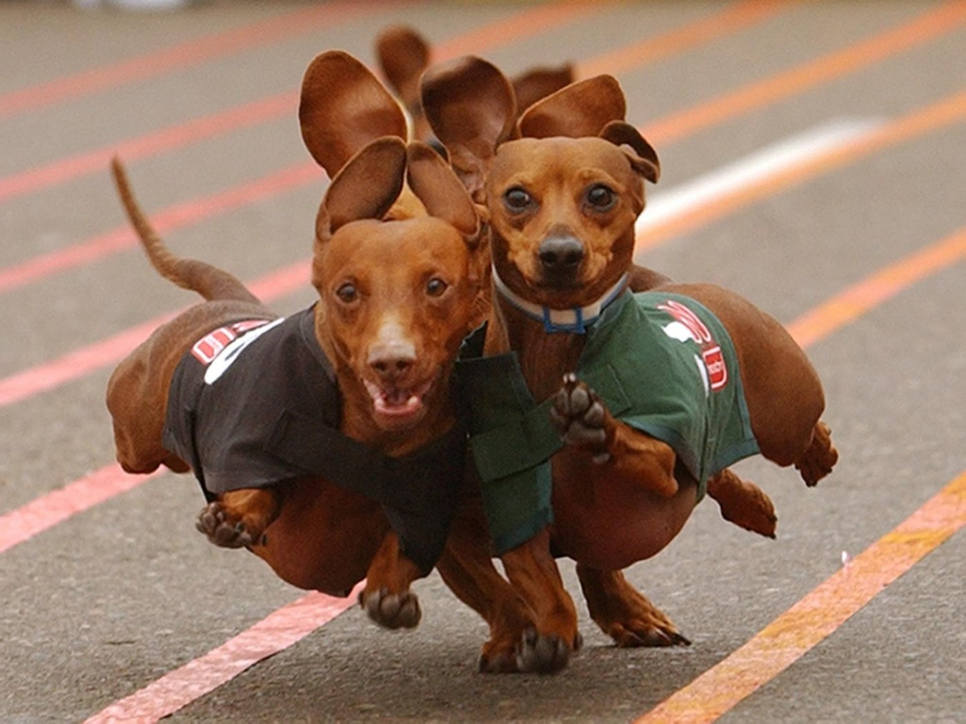 Dachshund Dog: Dachshund Dachshund Running X Breed