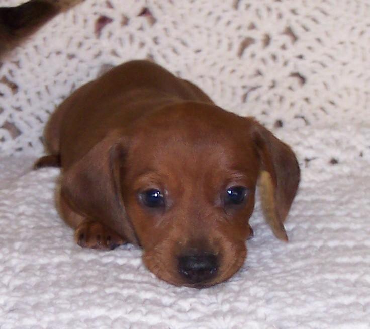 Dachshund Puppies: Dachshund Dachshundgallery Breed