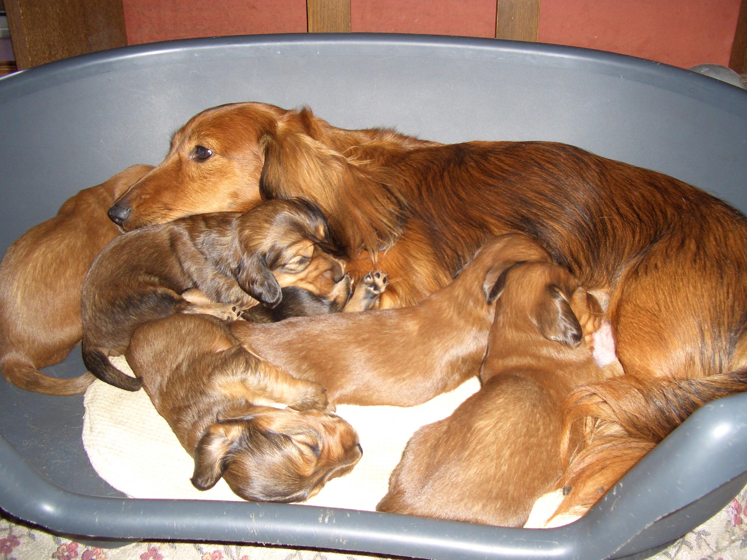 Dachshund Puppies: Dachshund Filedachshundpuppies Breed