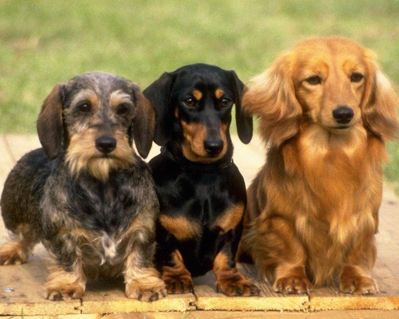 Dachshund Dog: Dachshund Lovely Dachshund X Breed