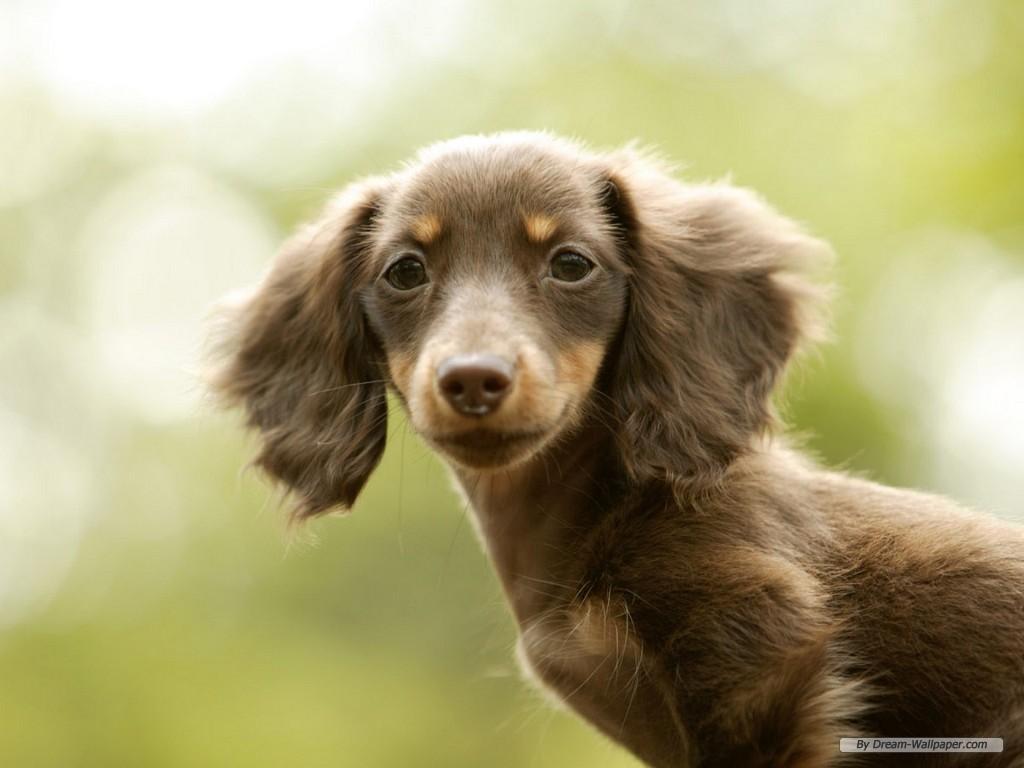 Dachshund Dog: Dachshund Mini Dachshund Breed