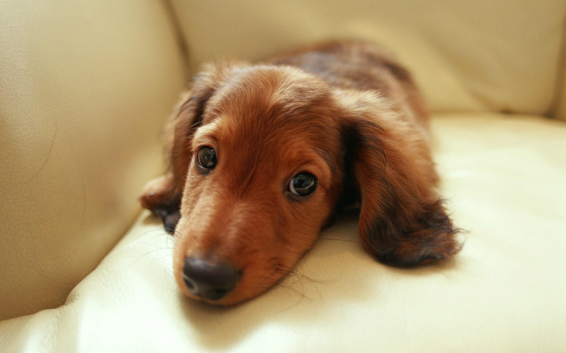 Dachshund Puppies: Dachshund Miniaturedachshundvolfc Breed