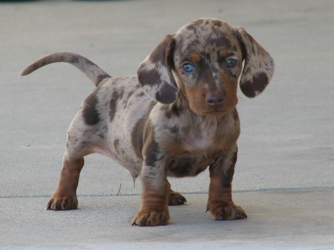 Dachshund Puppies: Dachshund Testimonials Breed