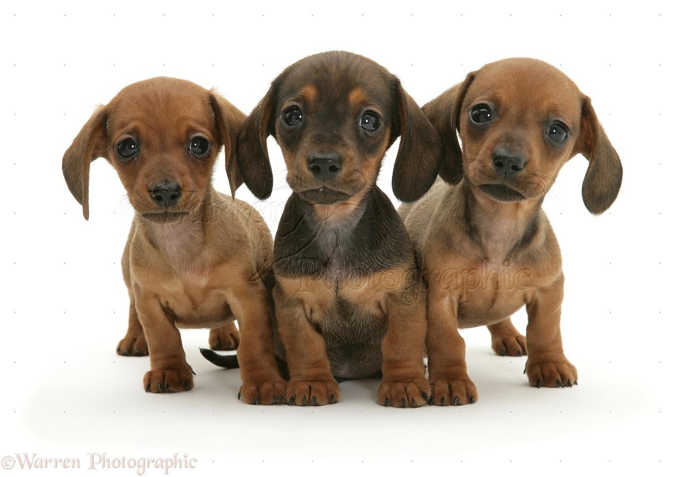 Dachshund Puppies: Dachshund Three Dachshund Puppies Breed
