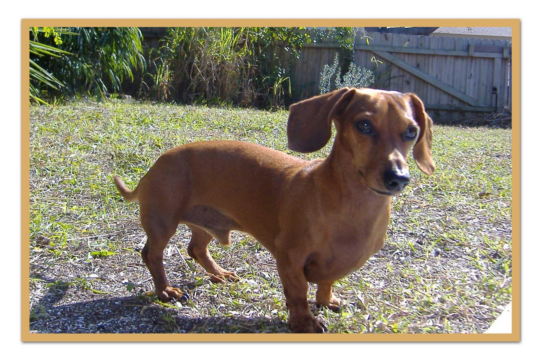 Dachshund Dog: Dachshund Walking Dachshund Dog Breed
