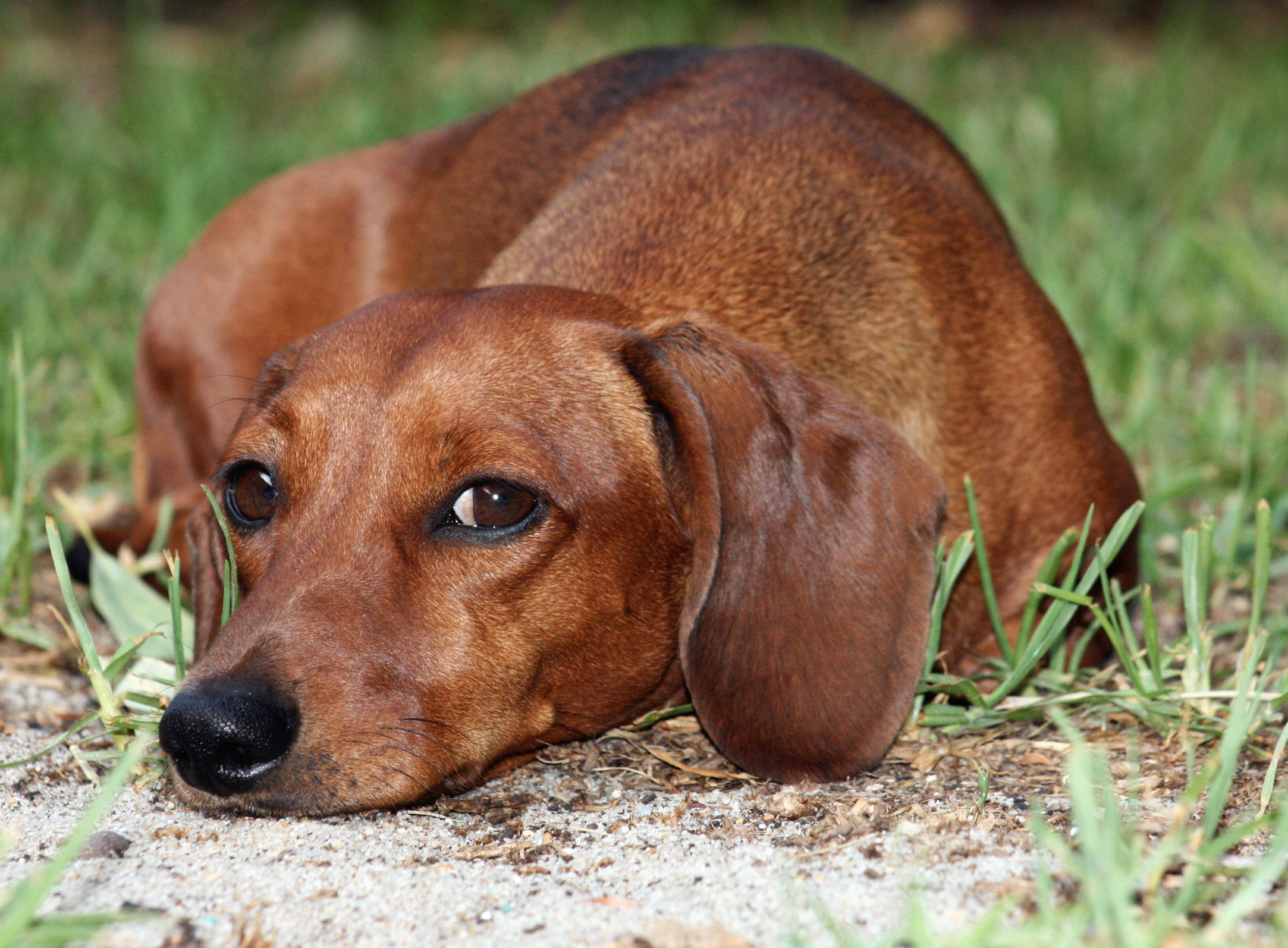 Dachshund Dog: Dachshund Wistful Dachshund Dog Breed