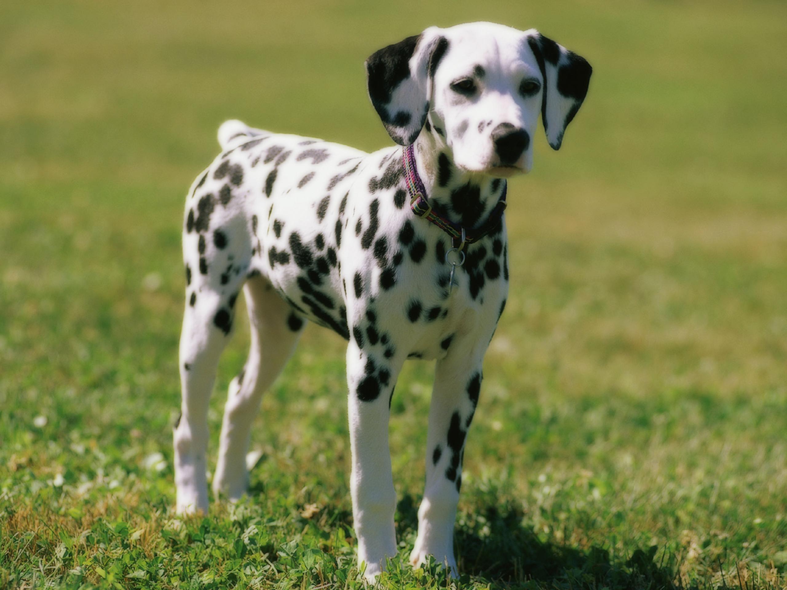 Dalmatian Dog: Dalmatian Archive Breed