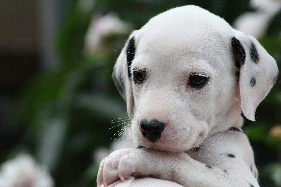 Dalmatian Puppies: Dalmatian Breed