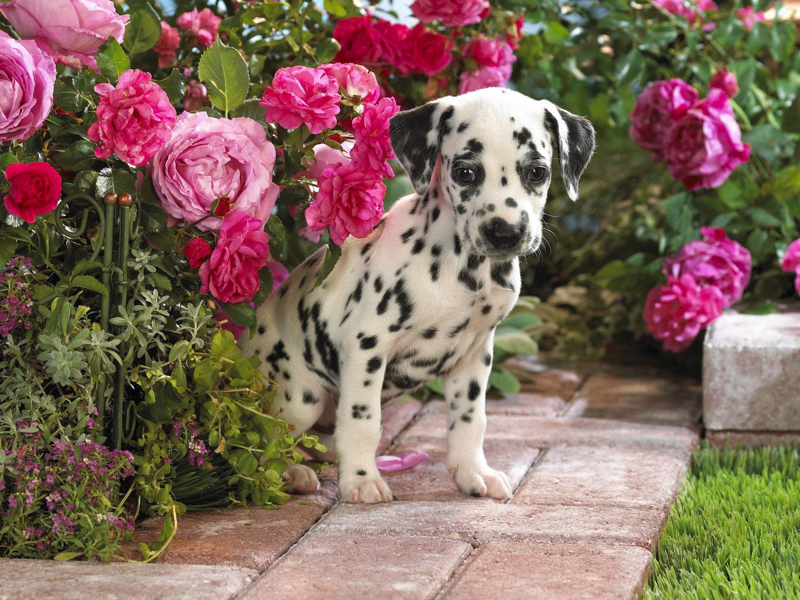 Dalmatian Puppies: Dalmatian Cute Dalmatian Puppies S Breed