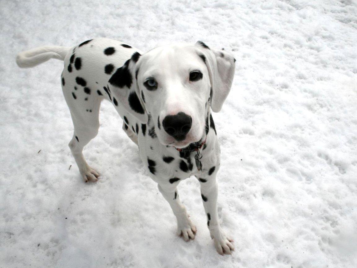Dalmatian Dog: Dalmatian Cute Puppy Dalmatian Breed