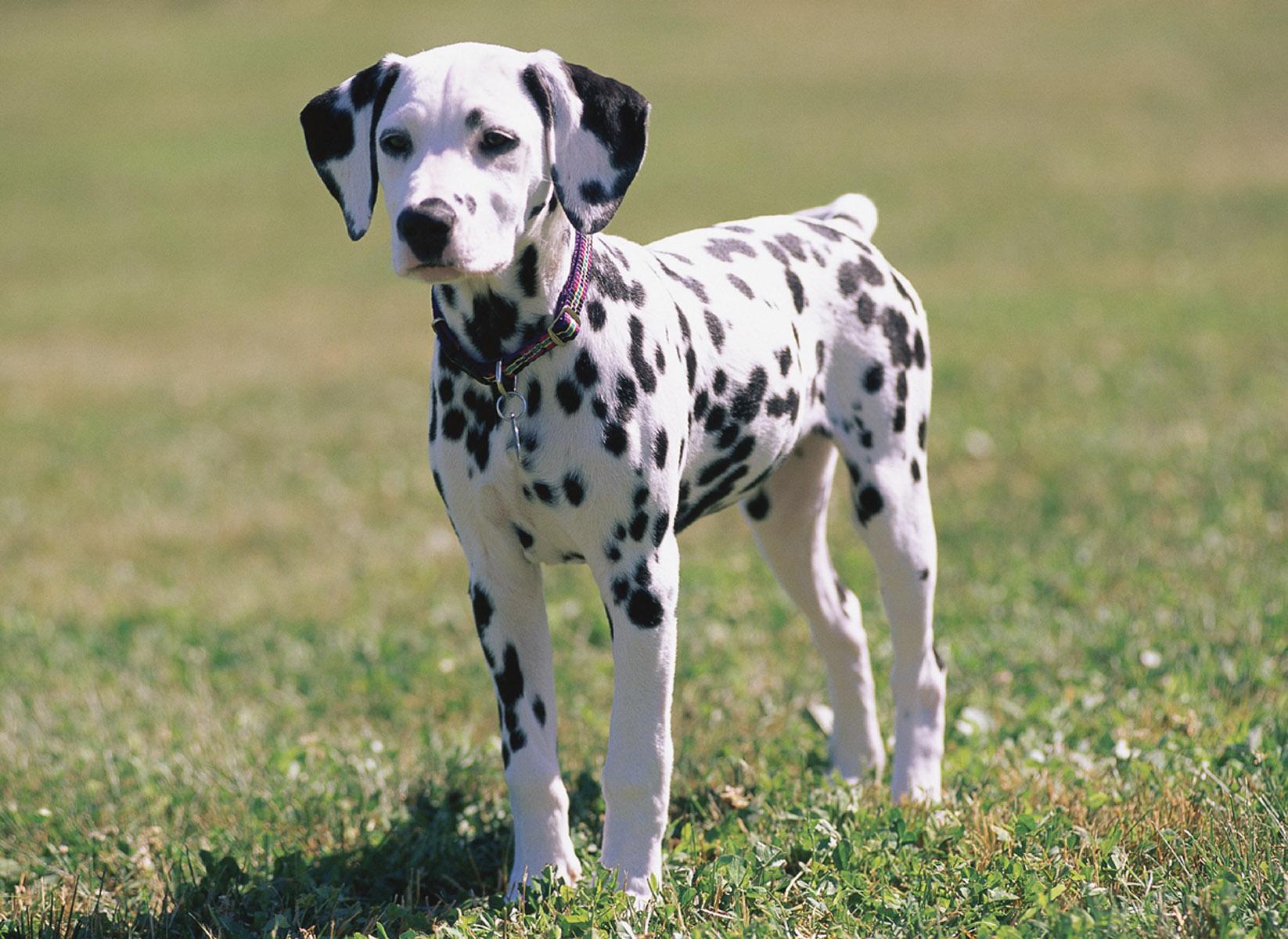 Dalmatian Dog: Dalmatian Dalmatian Dog Breeds