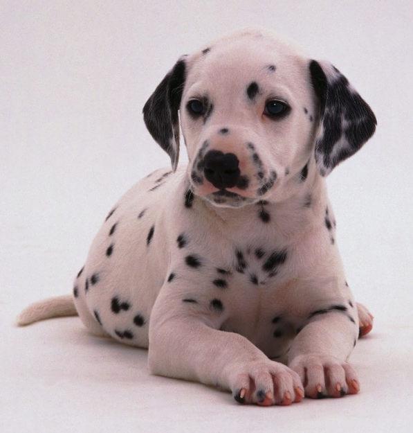 Dalmatian Puppies: Dalmatian Dalmatian Puppies Breed