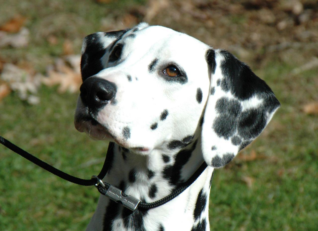 Dalmatian Dog: Dalmatian Dalmatian Puppy Wanted Coulsdon Breed