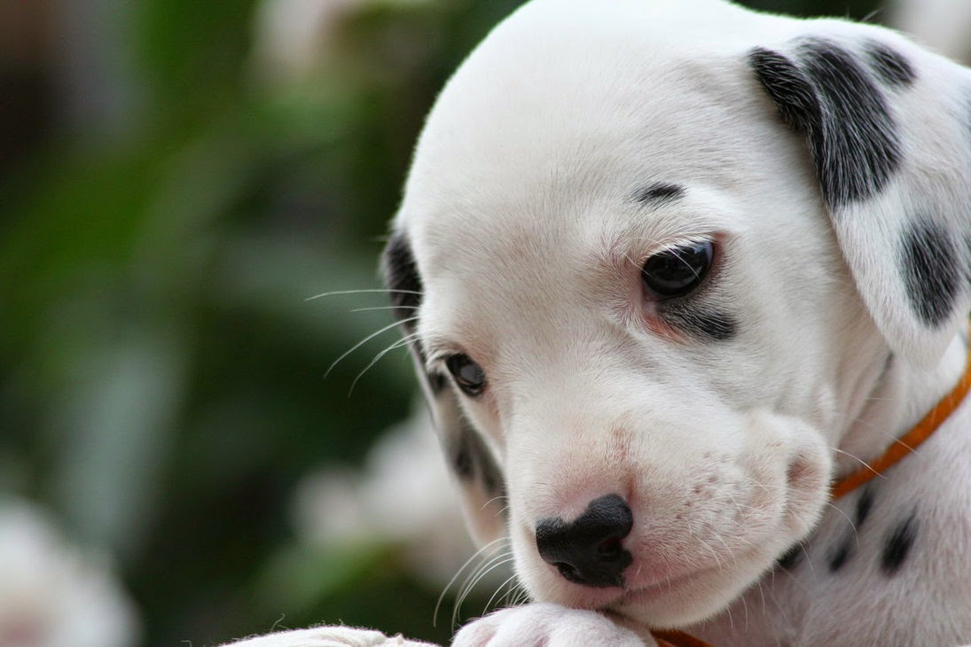 Dalmatian Puppies: Dalmatian The Dalmatian Puppies Breed
