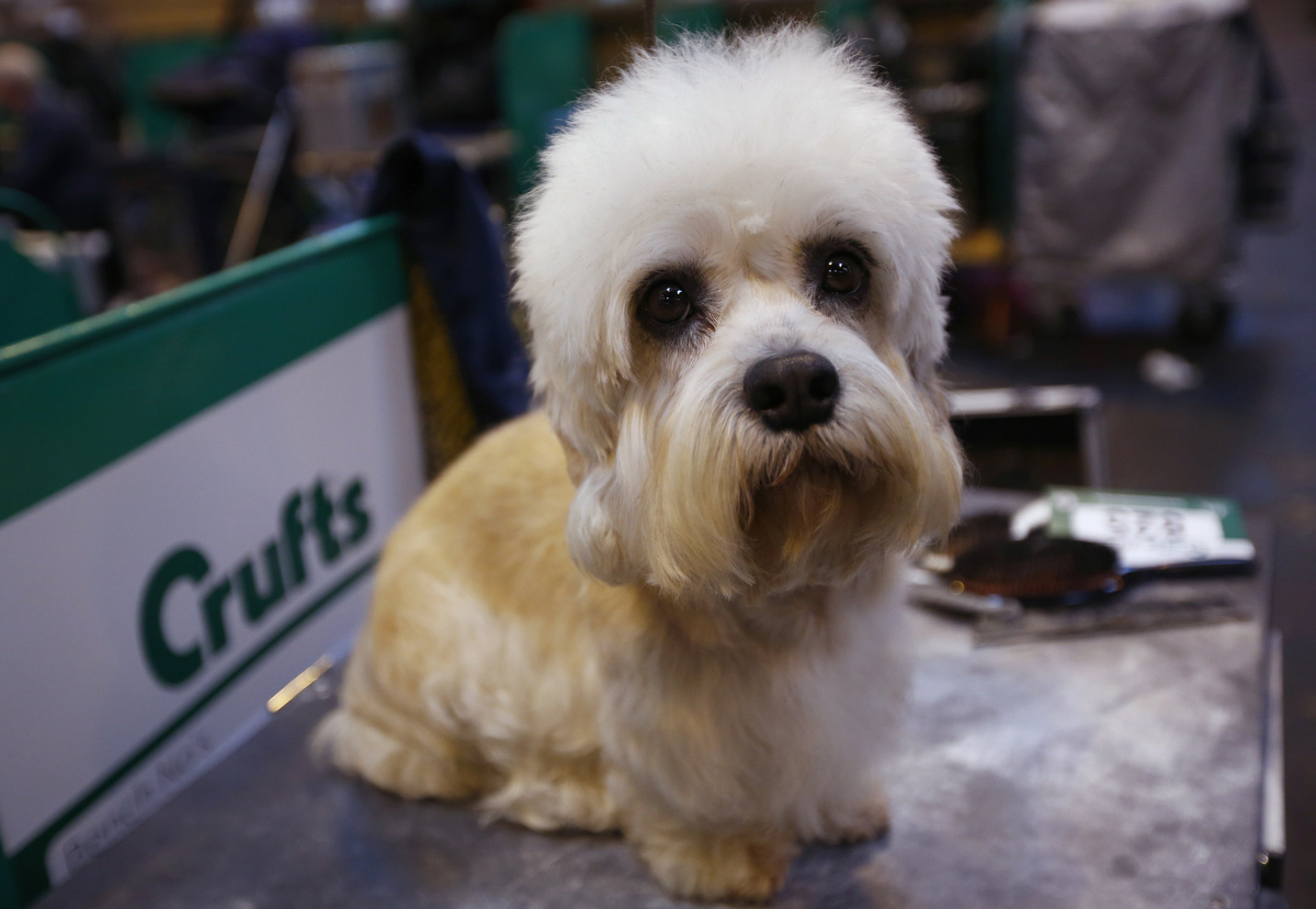 Dandie Dinmont Terrier Dog: Dandie A Dandie Dinmont Terrier Awaits Judging During The First Day Of The Crufts Dog Show In Birmingham Breed