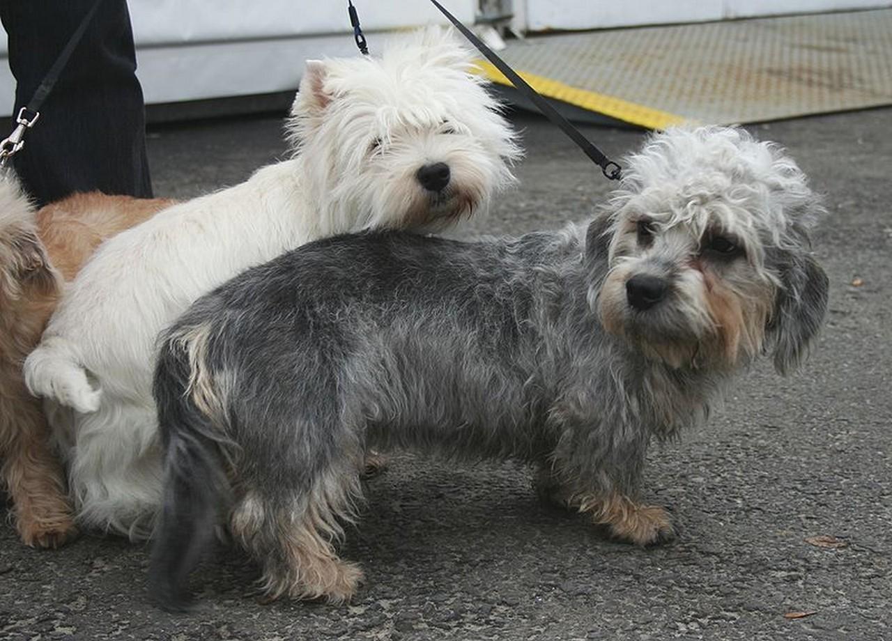 Dandie Dinmont Terrier Dog: Dandie Archive Breed
