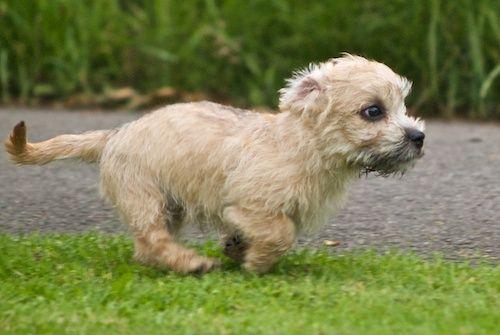 Dandie Dinmont Terrier Puppies: Dandie Breed