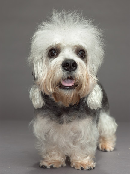 Dandie Dinmont Terrier Dog: Dandie Clark Graphy Breed
