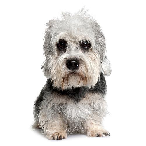 Dandie Dinmont Terrier Puppies: Dandie Dandie Dinmont Terrier Breed