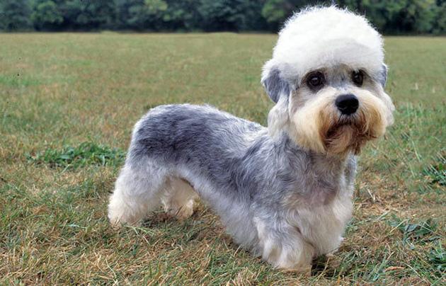 Dandie Dinmont Terrier Puppies: Dandie Dandie Dinmont Terrier Dog Breed