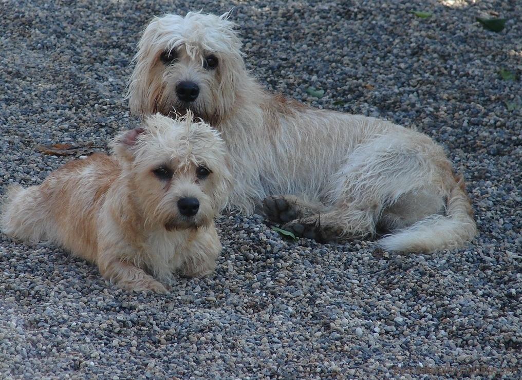 Dandie Dinmont Terrier Dog: Dandie Dandie Dinmont Terrier Pictures Breed