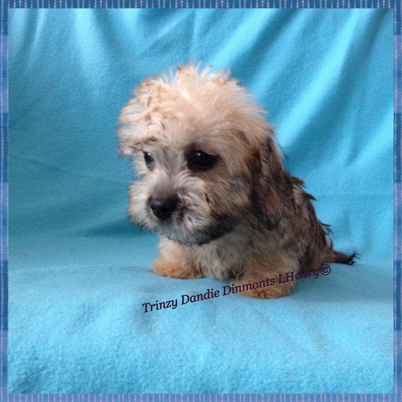 Dandie Dinmont Terrier Puppies: Dandie Dandie Dinmont Terrier Puppies For Sale Ormskirk Breed