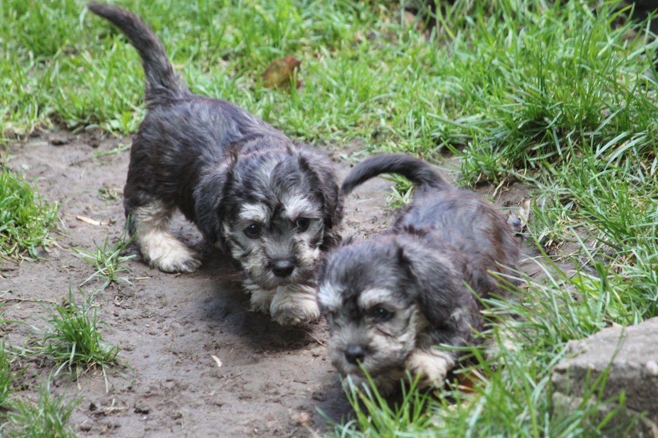 Dandie Dinmont Terrier Puppies: Dandie Dandie Dinmont Terrier Puppies Price Breed