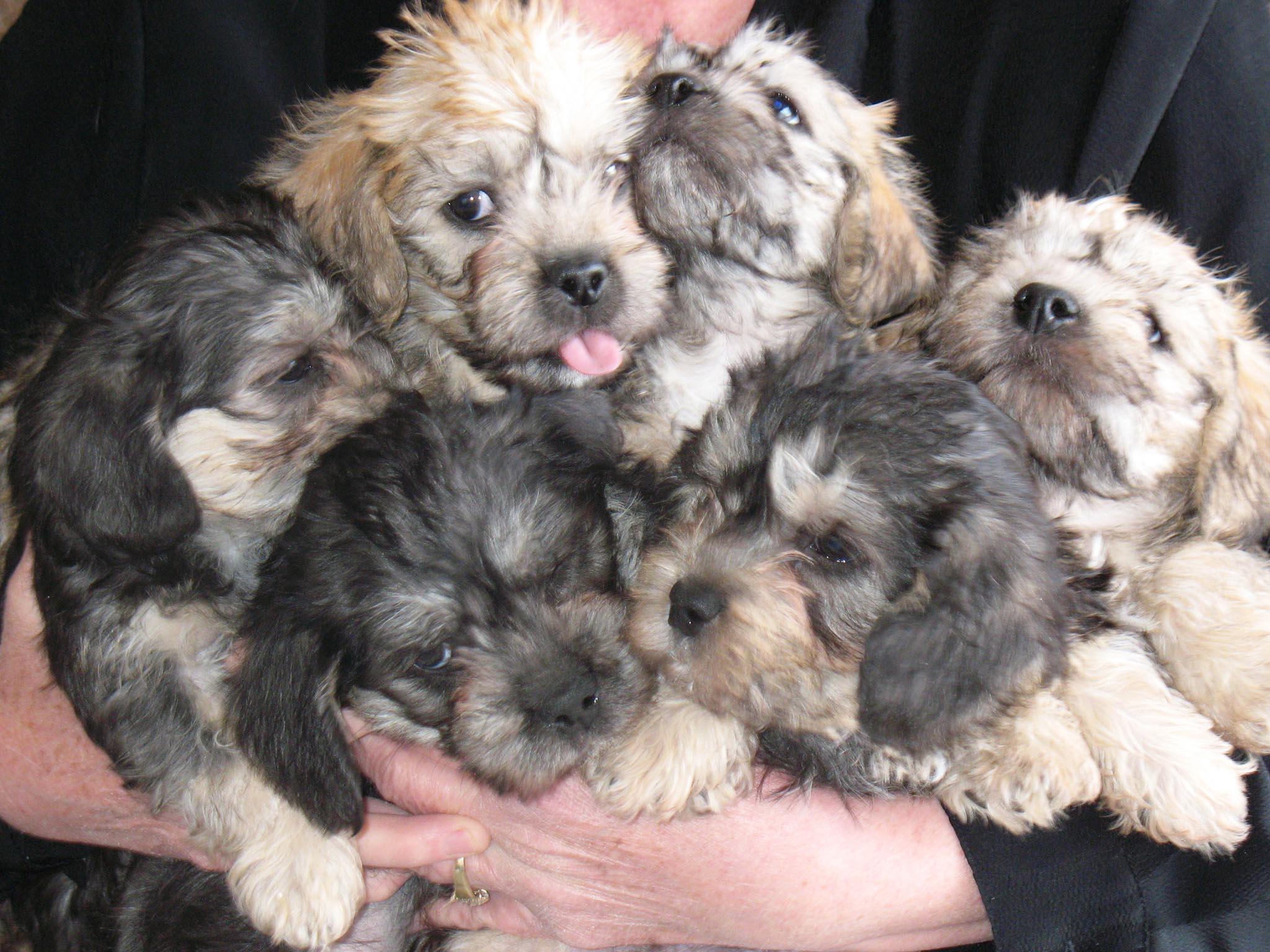 Dandie Dinmont Terrier Puppies: Dandie Dandie Dinmont Terrier Puppiesw Breed