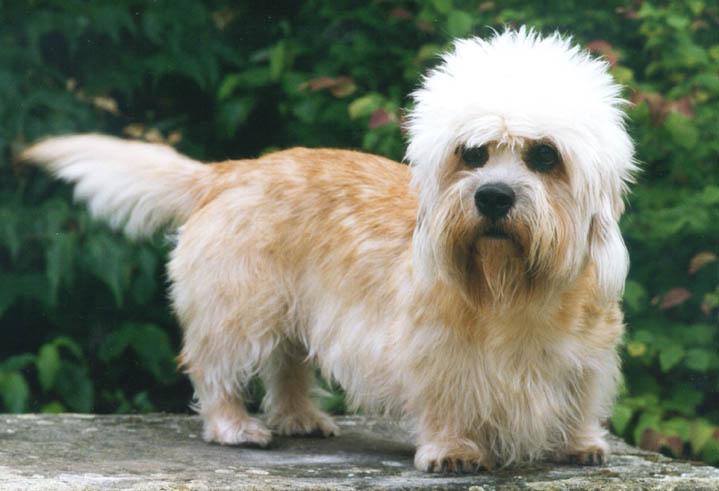 Dandie Dinmont Terrier Dog: Dandie Dog Breeds That Start With D