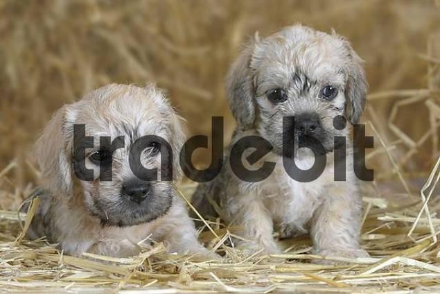 Dandie Dinmont Terrier Puppies: Dandie Filedetail Breed