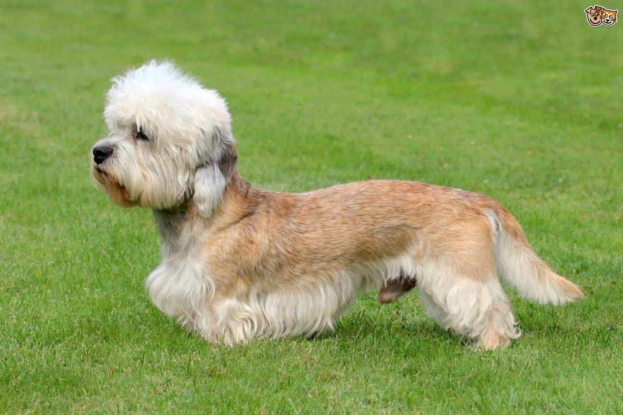 Dandie Dinmont Terrier Dog: Dandie Home Breed