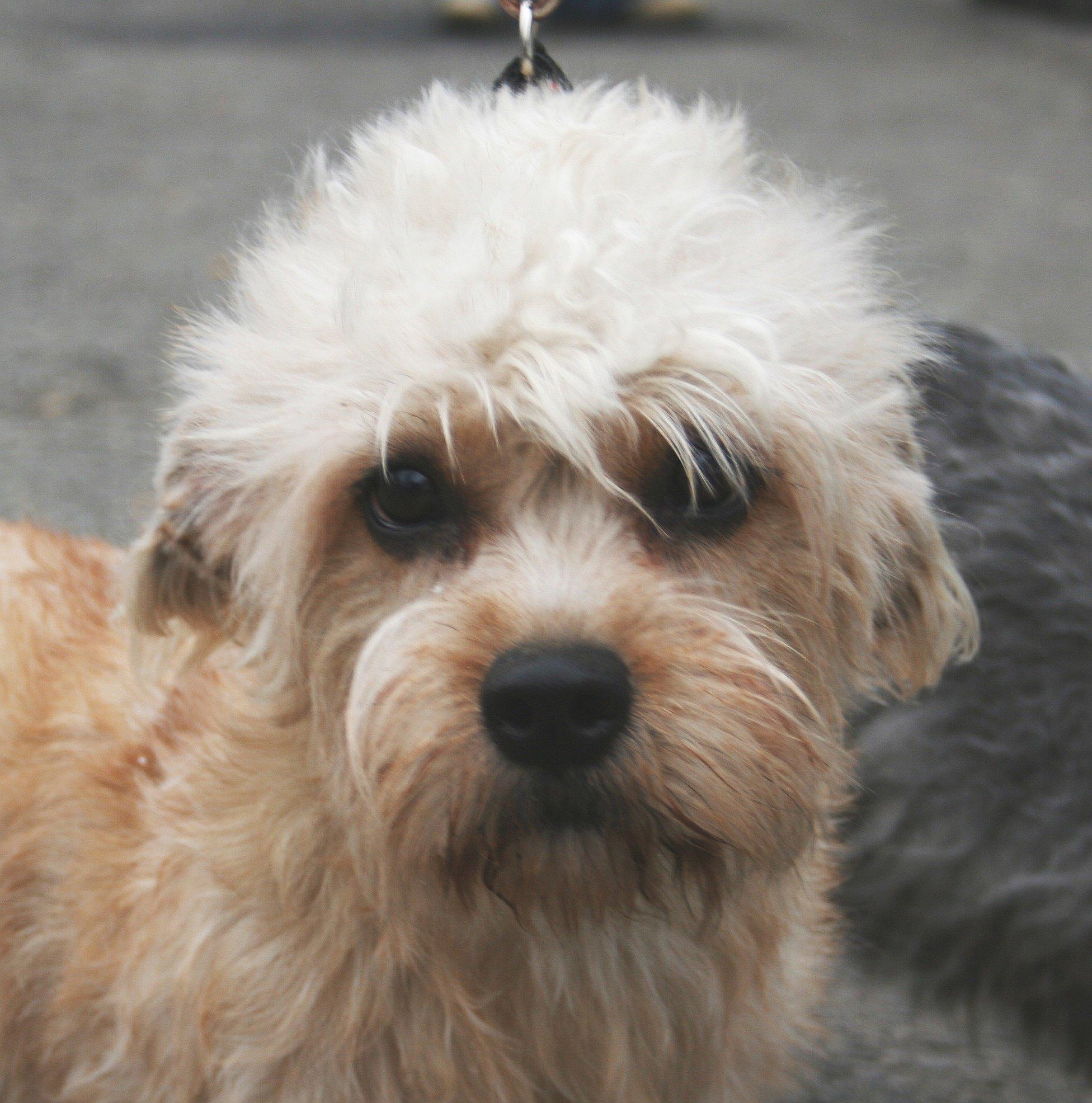 Dandie Dinmont Terrier Dog: Dandie Nice Dandie Dinmont Terrier Dog Breed