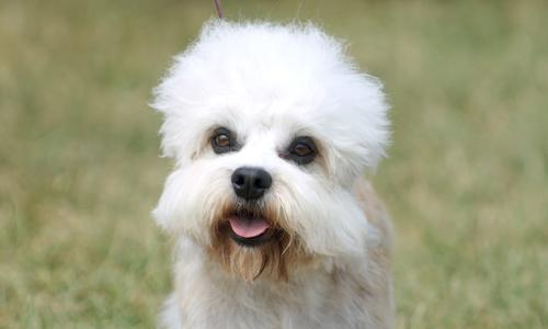 Dandie Dinmont Terrier Puppies: Dandie Puppies For Sale Breed