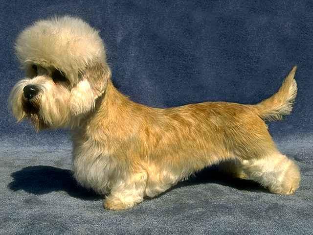 Dandie Dinmont Terrier Dog: Dandie Razas De Perros Megapost Breed