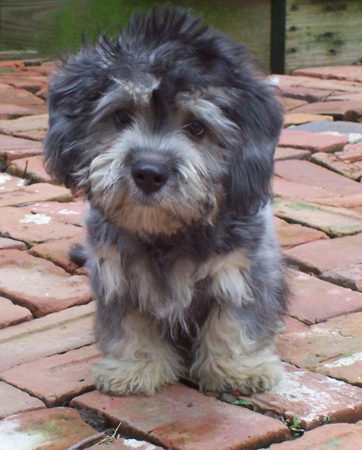 Dandie Dinmont Terrier Dog: Dandie Sad Dandie Dinmont Terrier Breed