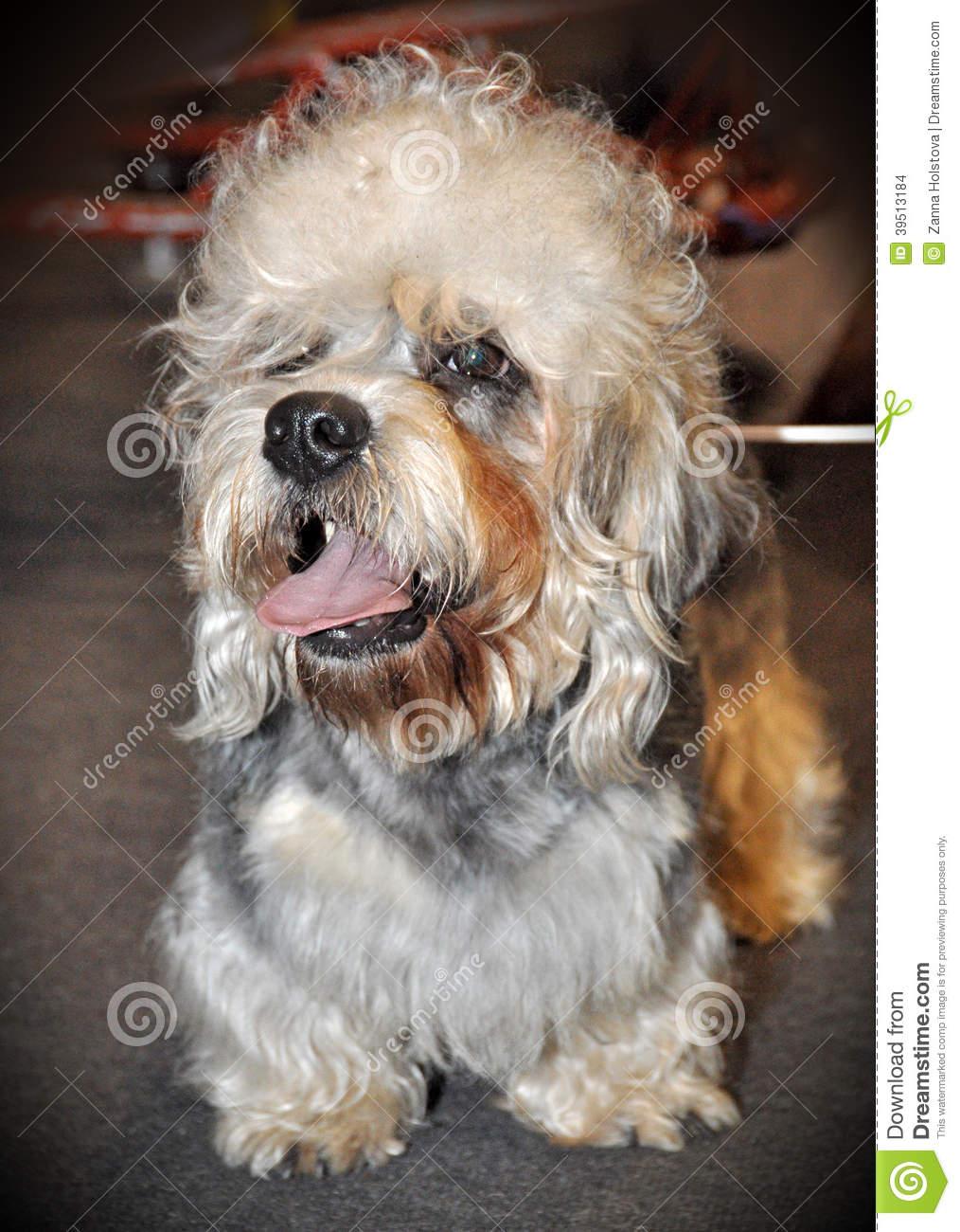 Dandie Dinmont Terrier Dog: Dandie Stock S Dandie Dinmont Terrier Dog Small Scottish Breed Family Breed Has Very Long Body Short Legs