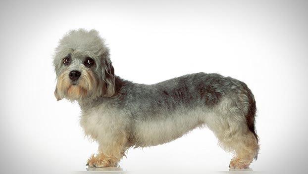 Dandie Dinmont Terrier Puppies: Dandie The Dandie Dinmont Terrier Breed