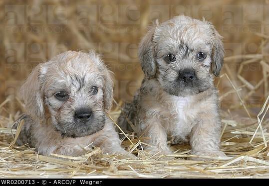 Dandie Dinmont Terrier Puppies: Dandie Wr Breed