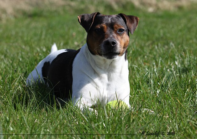 Danish Swedish Farmdog Dog: Danish Danish Swedish Farm Dog Information And Pictures Breed