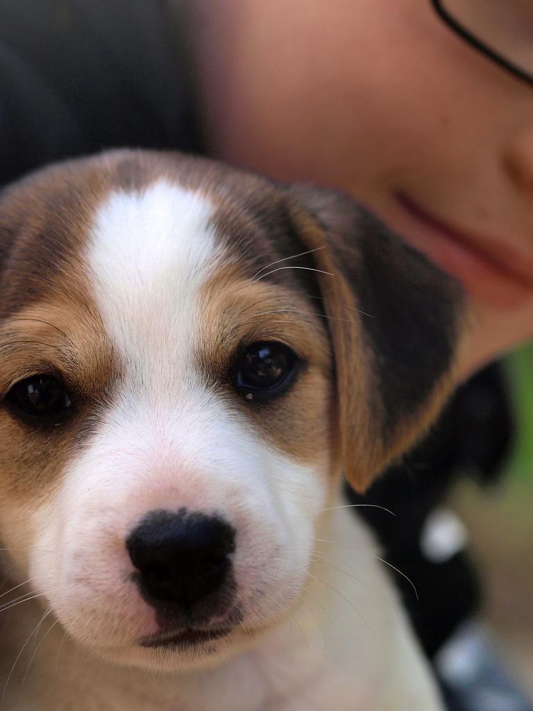 Danish Swedish Farmdog Puppies: Danish Danish Swedish Farm Dog Puppies Breed