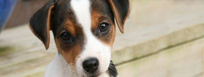 Danish Swedish Farmdog Puppies: Danish Danish Swedish Farm Dog Puppies S Breed
