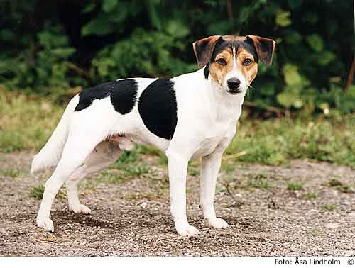 Danish Swedish Farmdog Dog: Danish Danish Swedish Farmdog Breed