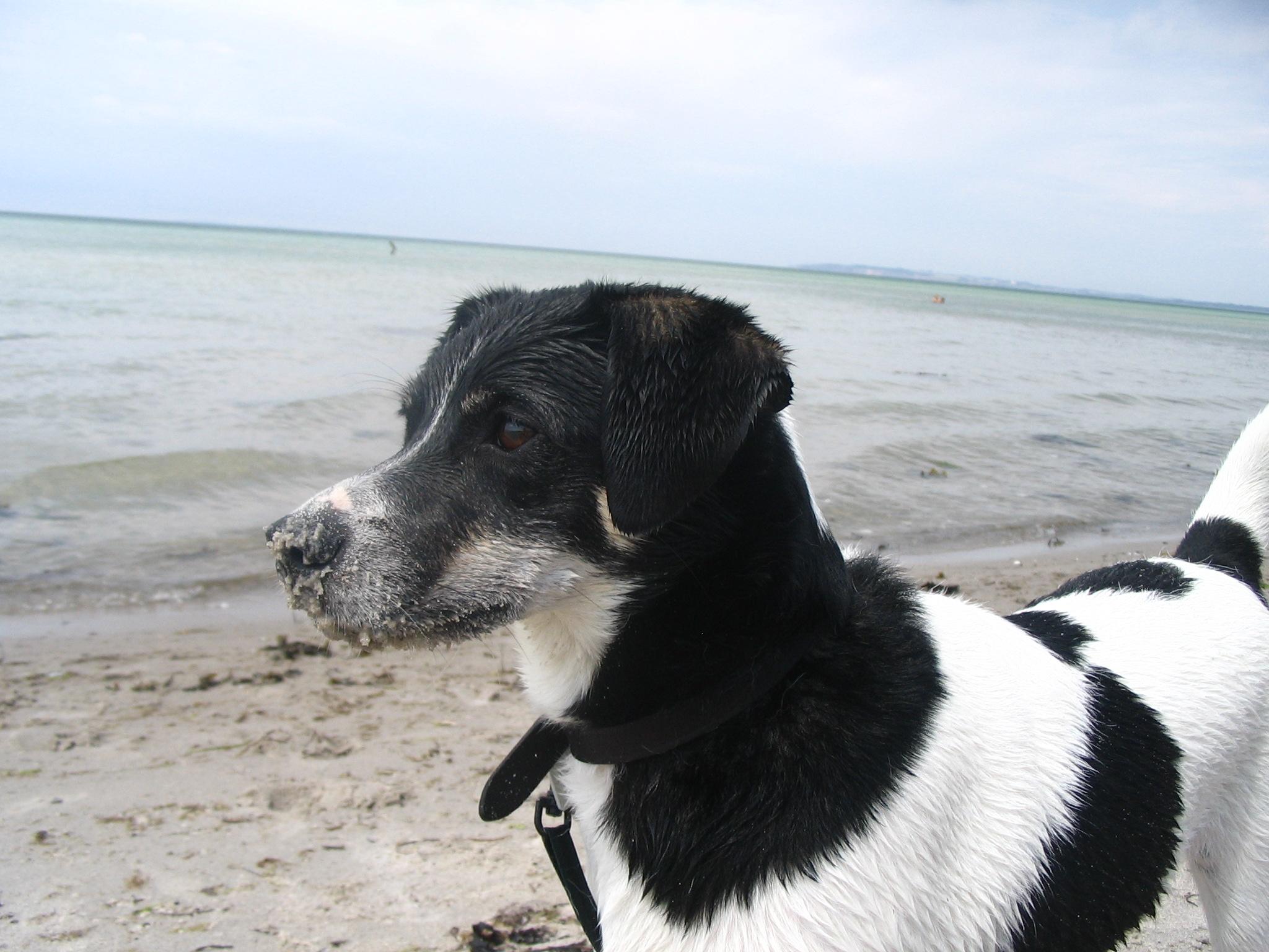 Danish Swedish Farmdog Puppies: Danish Danish Swedish Farmdog By The Sea Breed