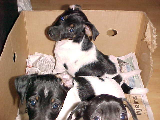 Danish Swedish Farmdog Puppies: Danish Dearpupbuyer Breed