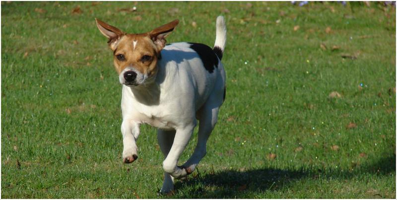 Danish Swedish Farmdog Puppies: Danish Dogs Breed