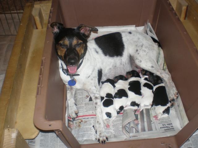 Danish Swedish Farmdog Puppies: Danish Klitter Breed