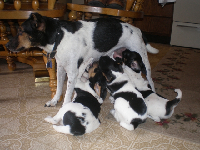 Danish Swedish Farmdog Puppies: Danish Kweeks Breed