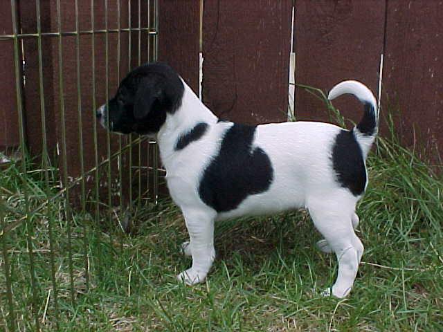 Danish Swedish Farmdog Puppies: Danish Puppies Breed