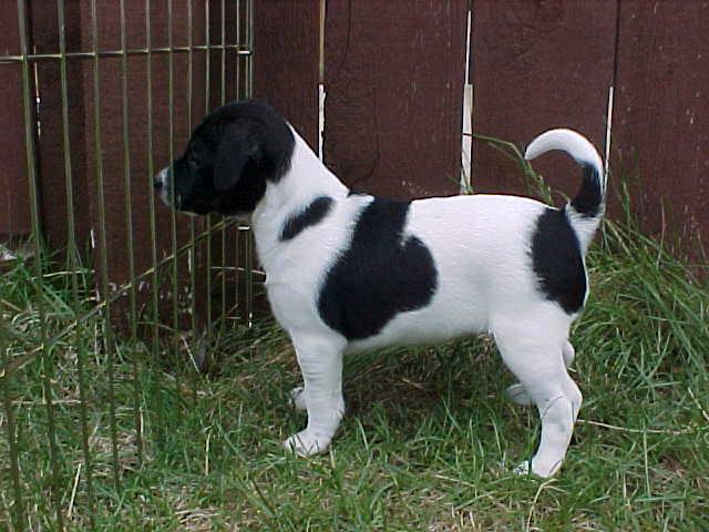 Danish Swedish Farmdog Puppies: Danish Puppies Breed